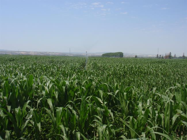 - ep campo maiz - Commodities: Grain prices jump after latest DoA forecasts for soybeans and corn